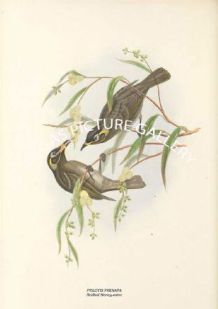 PTILOTIS FRENATA - Bridled Honey-eater